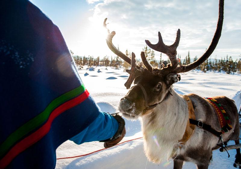 Treuer Begleiter der Sami, das Rentier. Foto: Lola Akinmade Åkerström/ imagebank.sweden.se