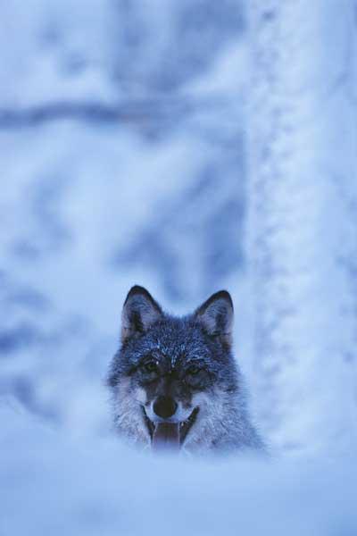 Schweden Schwedenstube Weihnachtsmann und Rentiere im Tierpark Lycksele