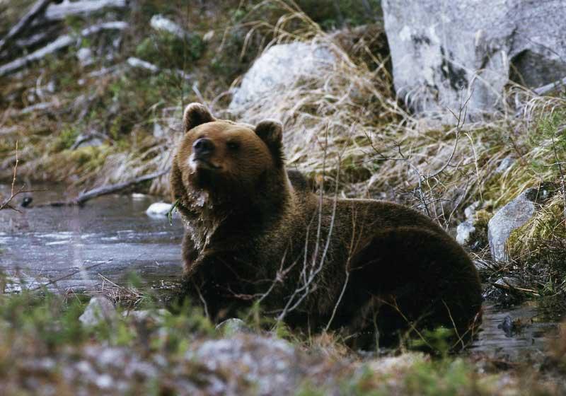 Bis zu 300 Braunbären gibt es im Härjedalen. Foto: Håkan Vargas/ imagebank.sweden.se