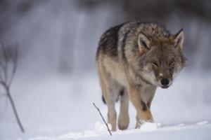 Wolf in der Natur