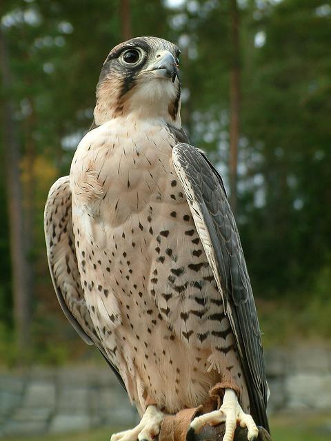 Falke in Kolmårdens djurpark. Foto: Harlequeen, Neil McIntosh / flickr.com (CC BY 2.0)