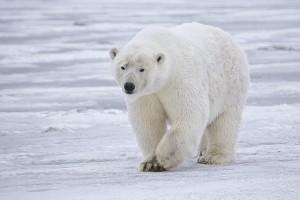 Polar Bear, Barter Island, Alaska