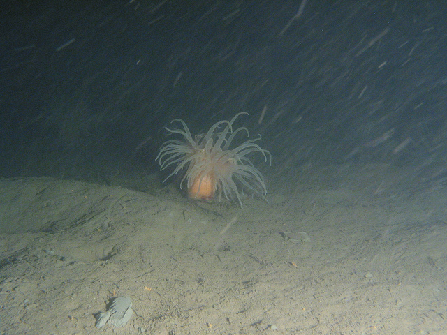 Seeanemone in 87 m Tiefe. Foto: Geological Survey of Sweden SGU /flickr.com (CC BY 2.0)