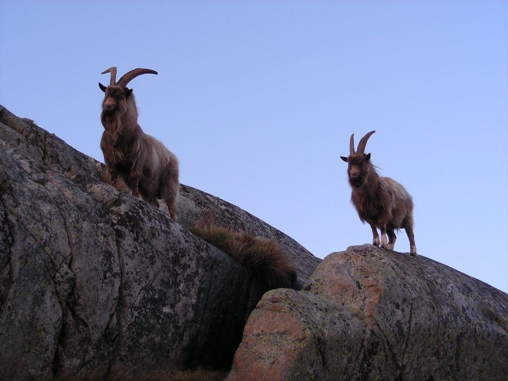 Ziegen auf Nordkoster. Foto: Geological Survey of Sweden SGU /flickr.com (CC BY 2.0)