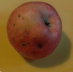Apfel mit den typischen Befallsspuren. Quelle: Sisslesgård