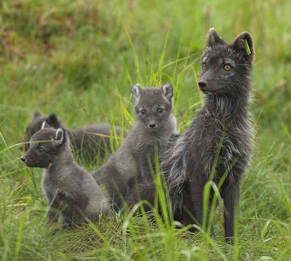 """Graues Sommerkleid, weiß im Winter: Der Polarfuchs, - """"fjällräven"""" auf schwedisch"""