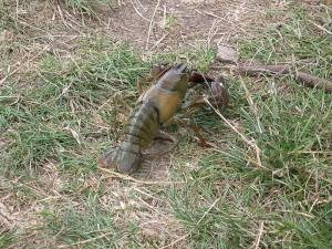 Der amerikanische Flusskrebs. Bild aus Wikipedia. Fotograf: White Knight