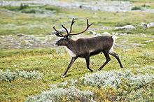 Rentier in Lappland. Foto aus Wikipedia. Fotograf: Alexandre Buisse